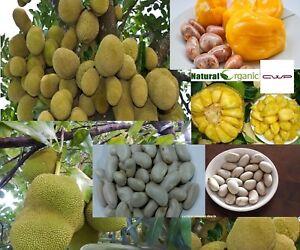 10-Oraganic-Fresh-JackFruit-Seeds-Tropical-Worlds-Largest-Tropical-Fruit-seed