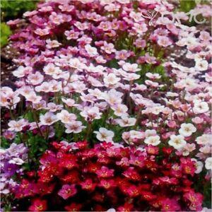 Saxifraga-Mixed-X-8-Plug-Plants-Hardy-Rockery-Perennial