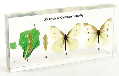 life cycle of cabbage butterfly  animal insect Embedding  Specimen paperweight