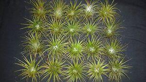 Bromeliad-Tillandsia-ionantha-20-air-plants-lot-72