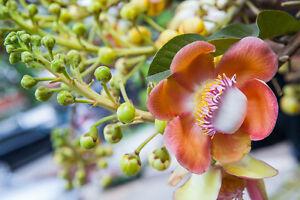 Exot-Pflanzen-Samen-exotische-Saatgut-Zimmerpflanze-BENGALISCHE-QUITTE