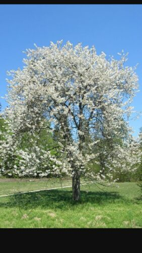 Prunus Avium /'PLENA/' 4-5ft In 6L Pot Stunning White Blossom in Spring