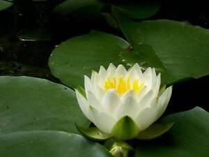3 piante ninfea da laghetto di fiori bianchi con centro for Laghetto con ninfee