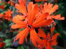Lychnis Chalcedonica appx 20,000 seeds 10 grams Maltese Cross