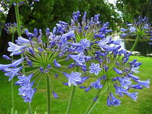 Agapanthus Jolanda Violet Blue Flowers Hardy Garden Perennial
