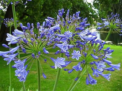 Agapanthus Jolanda fiori blu-violetto pianta perenne rustica da giardino