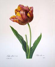 P.J. Redoute 142 Tulipa Aulta vintage print