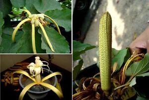 Bananenschalenbaum Seltene Exotische Zimmerpflanze Pflanzen Für