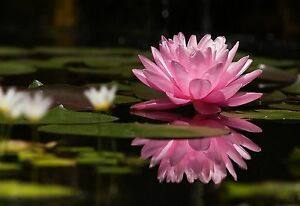 Pink lotus flower on water large canvas picture floral wall art ebay image is loading pink lotus flower on water large canvas picture mightylinksfo