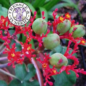 Raro Buda vientre Jatropha podagrica Planta De Interior 3 Semillas vendedor del Reino Unido  </span>
