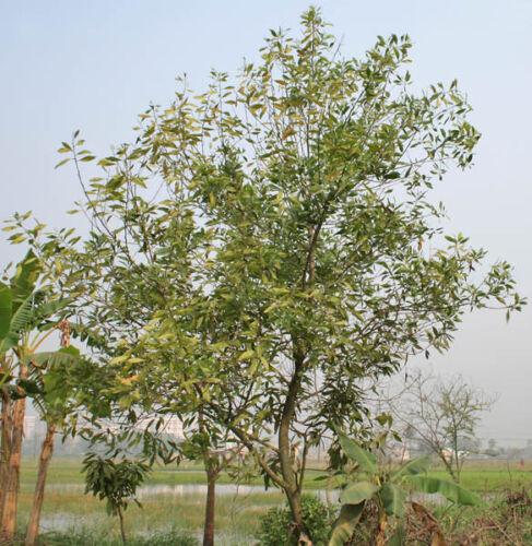 australienne Teck 50 Graines Acacia mangium moaholz edelteck