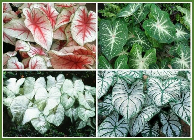 100Pcs Caladium Flower Seeds Mixed Rare Perennial Garden Home Plant Seeds