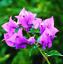 100Pcs-Bougainvillea-Flower-Seeds-Rare-Colorful-Bonsai-Pereninal-Garden thumbnail 5