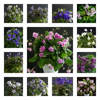 10 Fogli Mia Elezione/10 Leaves Of My Choice Usambaraveilchen African Violet-en African Violet It-it Adottare La Tecnologia Avanzata