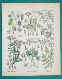 SPICES-Botany-Parsnip-Caraway-Anise-Dropwort-Sea-Holly-1845-H-C-COLOR-Print
