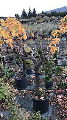 Pianta di vite da uva rossa in vaso 40 vitigno for Piante acquisto