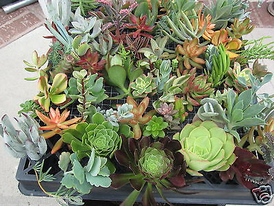 100 Succulent Cuttings Collection with various species ~ FRESH CUT & FREE S&H