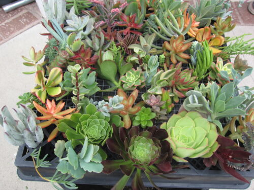 100 Succulent Cuttings Collection with various species ~ FRESH CUT /& FREE S/&H