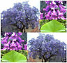200 seeds of purple Paulownia fragrant flower tree tomentosa royal elongata