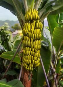 5 X Banana Tree Seeds Musa Yunnanensis Seeds Yunnan Banana Ebay