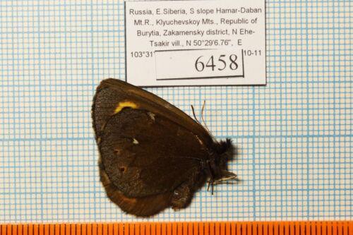 erebia embla dissimulata 15m Satyridae !PRICE FOR EACH!