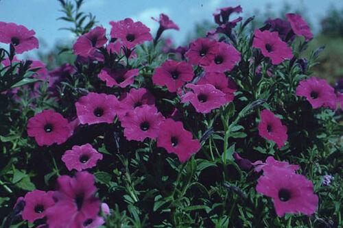 Shanin Petunie 500 Samen Petunie Violacea