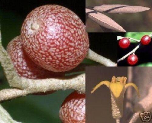 winterhart Korallenbaum für den Garten Exquisite Früchte //// Frische Samen !