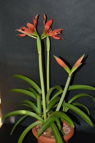 Hippeastrum aulicum var 10 seeds Robustum  x Autumn Rose Lady