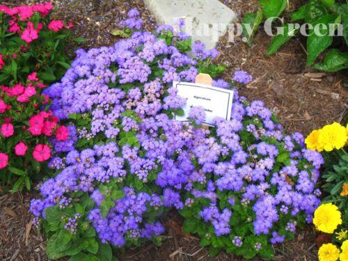 BLUE MINK FLOSS FLOWER DWARF ANNUAL Ageratum houstonianum 2000 SEEDS