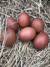 Blue Maran Hatching Eggs Three 3