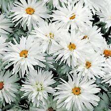 50+ Shasta Daisy / Crazy Daisy Flower Seeds / Leucanthemum/Perennial