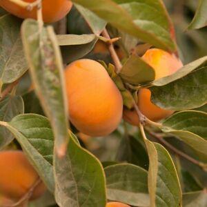 Direct Grower,персики,şaftalı,tinq,خوخ 3 Pieces Peach Tree GRAFTED