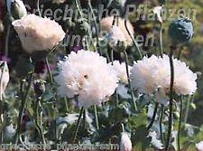 Mohn white cloud 100 Seme pieni Fiore bianco Papavero