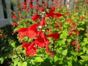 50-Salvia-Seeds-Texas-Sage-Lady-In-Red-FLOWER-SEEDS