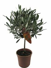 Olivenbaum, Oliven Stamm (Olea europaea) 45-55cm