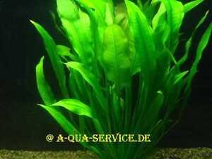 1-Bund-Schwarze-Amazonas-Schwertpflanze-Echinodorus-parviflorus-f-Aquarium