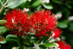 New Zealand Christmas Tree.Details About Metrosideros Excelsa New Zealand Christmas Tree Pohutukawa 100 Seeds