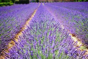 LAVENDER-FLOWERS-FIELD-MEADOW-CANVAS-PICTURE-POSTER-PRINT-UNFRAMED-1097