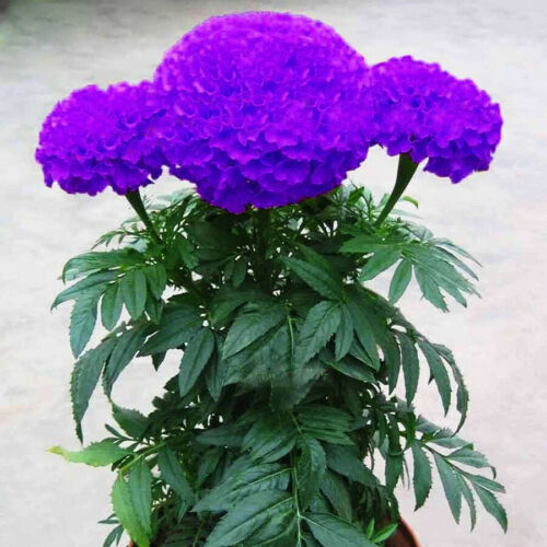 100/% Genuine Variety 100 seeds Purplish Blue Marigold Perennial Flower Seeds