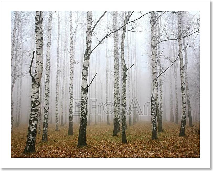 Morning Mist In Autumn Birch Grove Art Print Home Decor Wall Art Poster - D