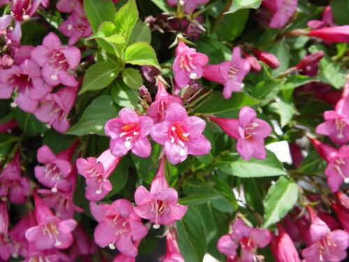 Garden Flowers Hummingbirds Old Fashioned Weigela Florida Shrub Bush Seeds