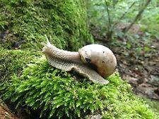 Helix Pomatia Live Land Snails Small Cute Pets for Kids Indoor Pet Snailarium