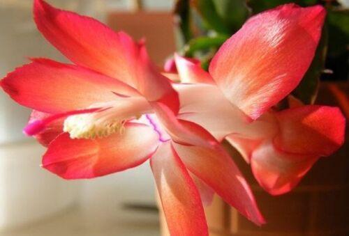 25 Samen thanksgiving Kaktus Zygocactus Truncatus