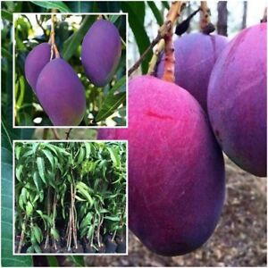 Details about Mango Tree Plant Grafted