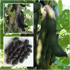 10 Seeds Mucuna pruriens,Velvet bean,Unique Rare From Thailand+Free delivery