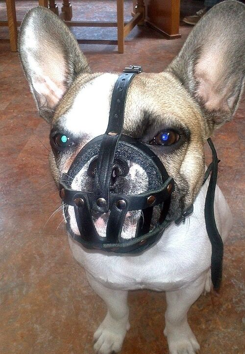 Museruola a cestello in pelle naturale per Bulldog Francese, leggera e comoda