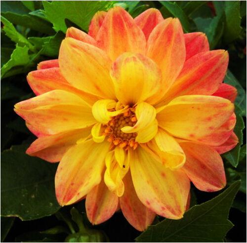 100 Colorful Dahlia Seeds Dahlia Pinnata Garden Flowers S045