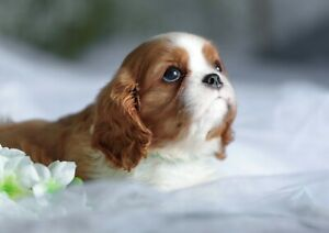 Cavalier-King-Charles-Spaniel-Poster-Size-A4-A3-Dog-Animal-Poster-Gift-12505