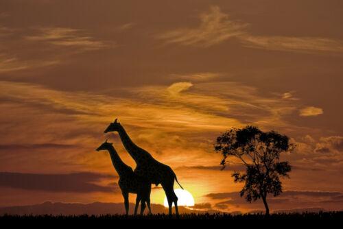-Afrika Sonnenuntergnag Safari Wilde Tiere Bild 2790V VLIES Fototapete-GIRAFFEN-