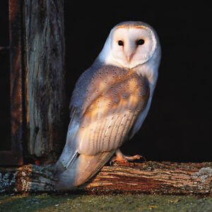 Blank-Card-034-Barn-Owl-in-Barn-at-Sunset-034-Large-Square-Size-6-25-x-6-25-034-WLII-2040